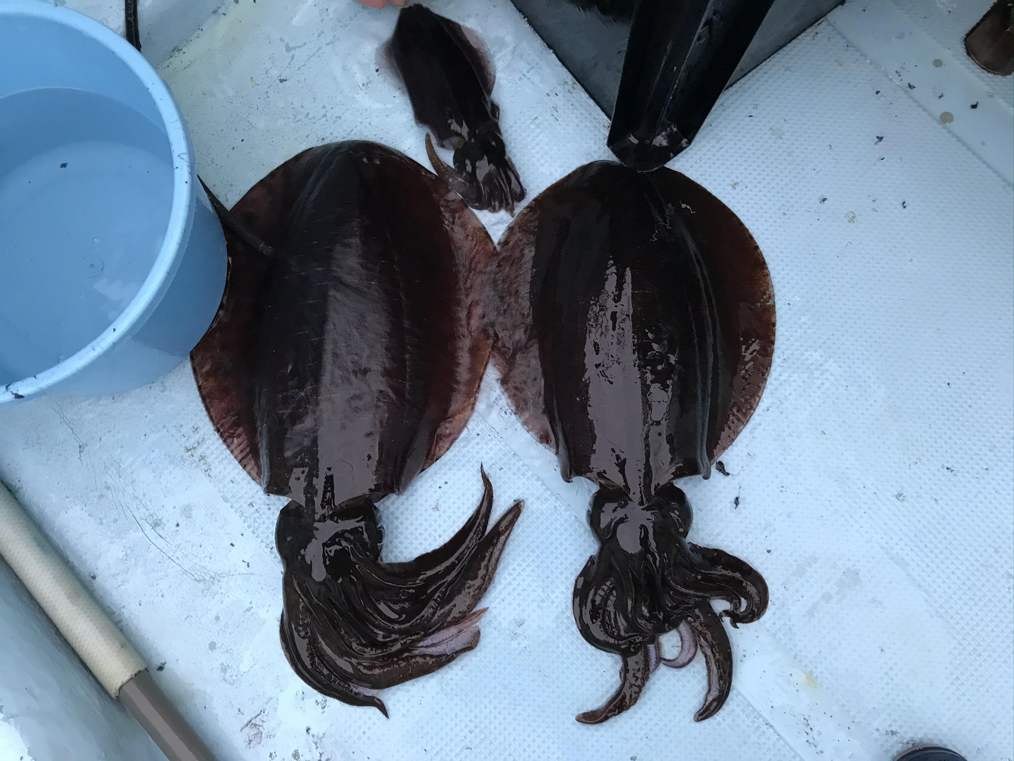 アオリイカたち 1.8kg、1.2kg、300g