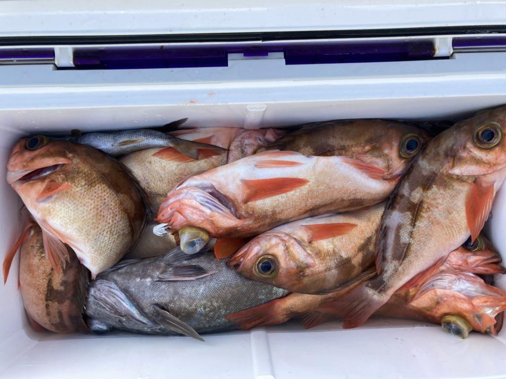 中深場根魚五目 釣果 沖メバル入れ食いでした