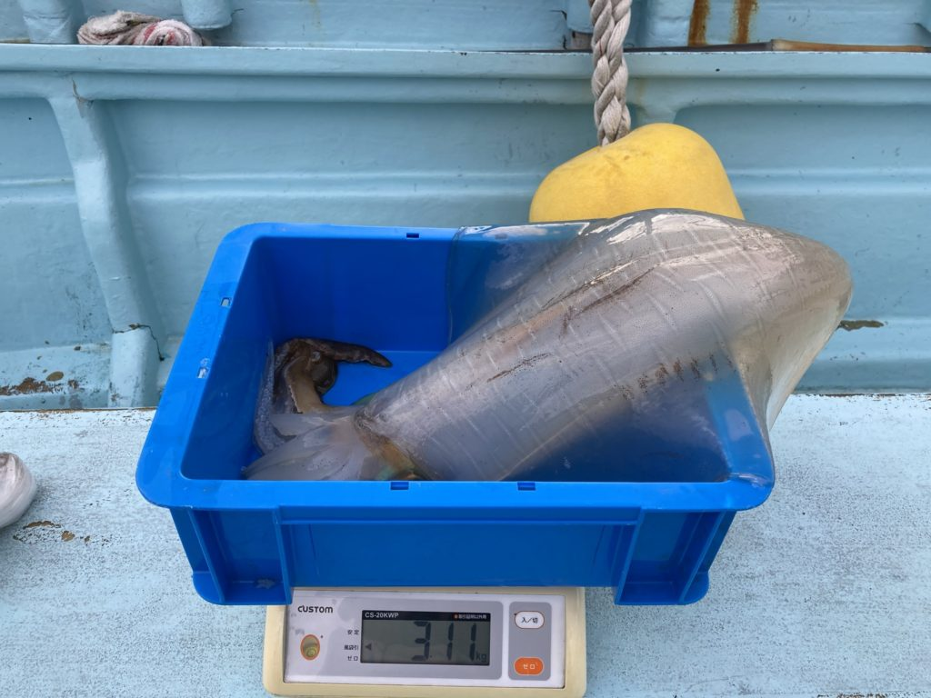 アオリイカ 計量 3.1kg