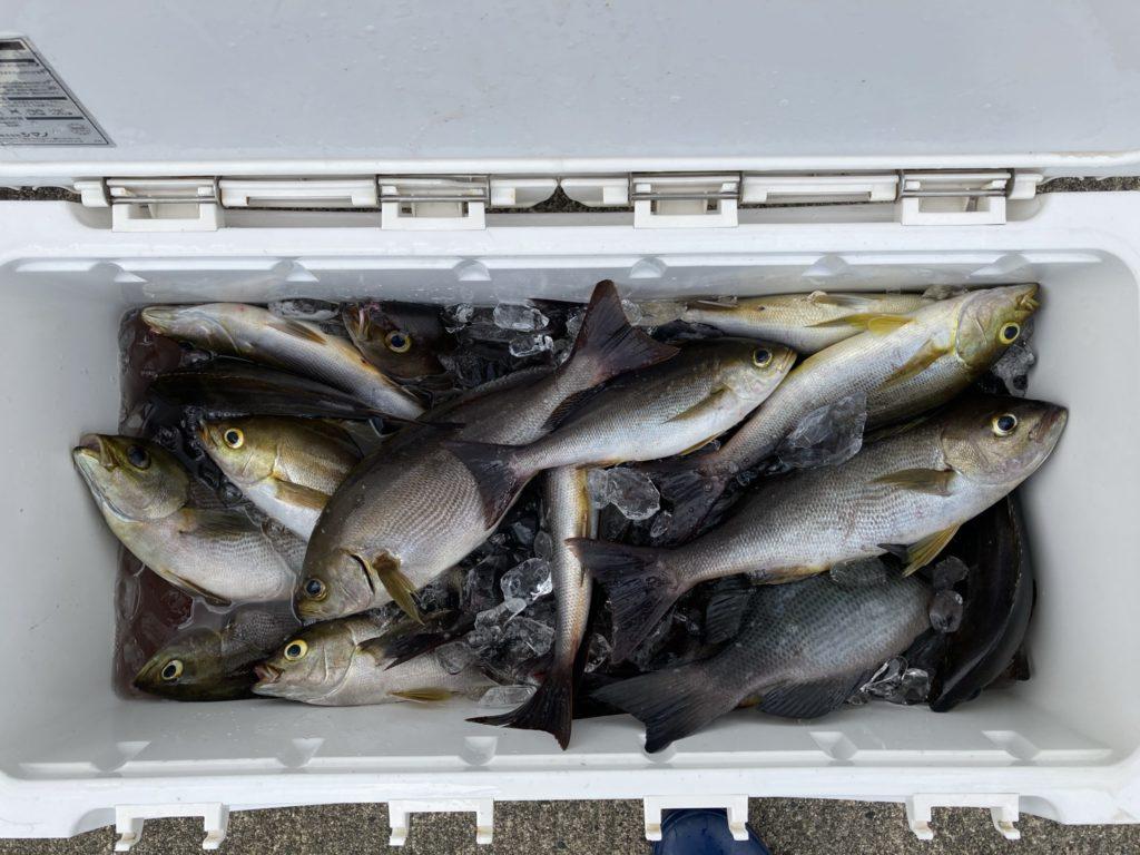 釣果 イサキ 良型多かったです