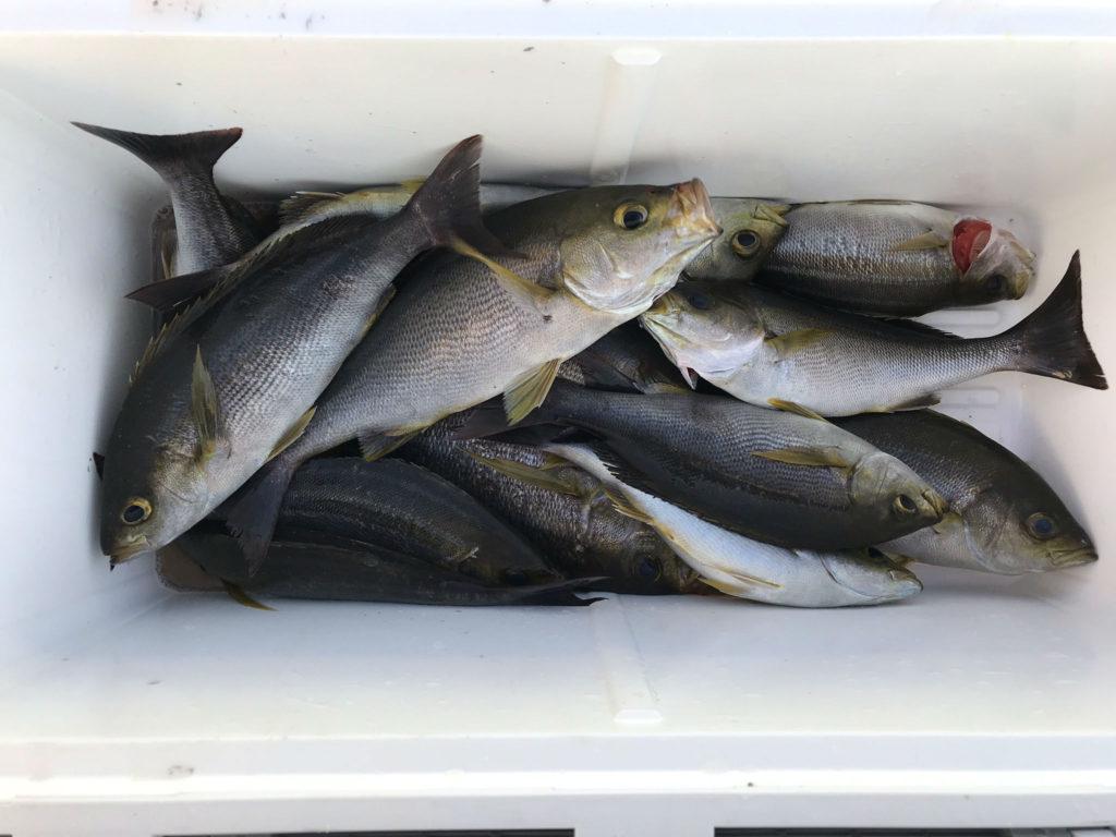 イサキ 今日の釣果